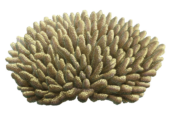 Stagehorn Coral - Click to Return to Gallery